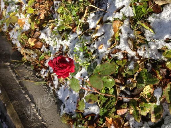 Роза цветет вопреки природе!, альбом Природа Тулуна и нашего региона