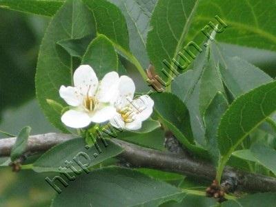 Цветок вишни Сентябрь 2009, альбом Природа Тулуна и нашего региона