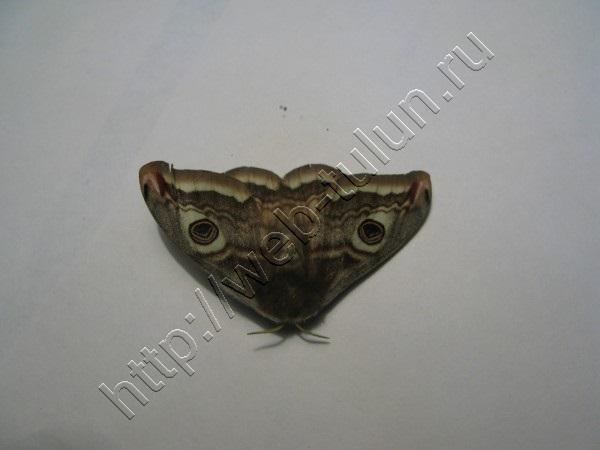 Бабочка кот, альбом Природа Тулуна и нашего региона