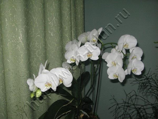 Любимая орхидея - весь цветок -весна 2015, альбом Природа Тулуна и нашего региона