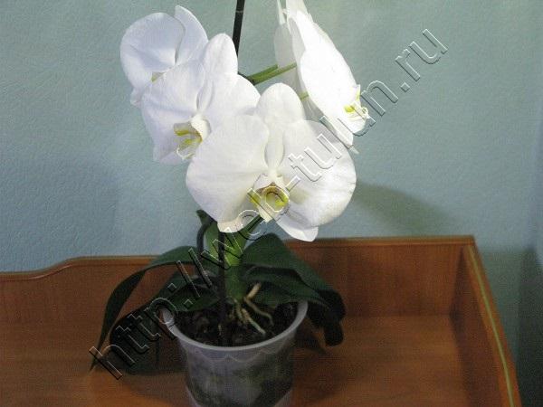 Любимая орхидея - февраль 2014, альбом Природа Тулуна и нашего региона